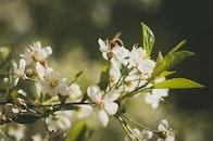 Bee on White Petaled Flowers