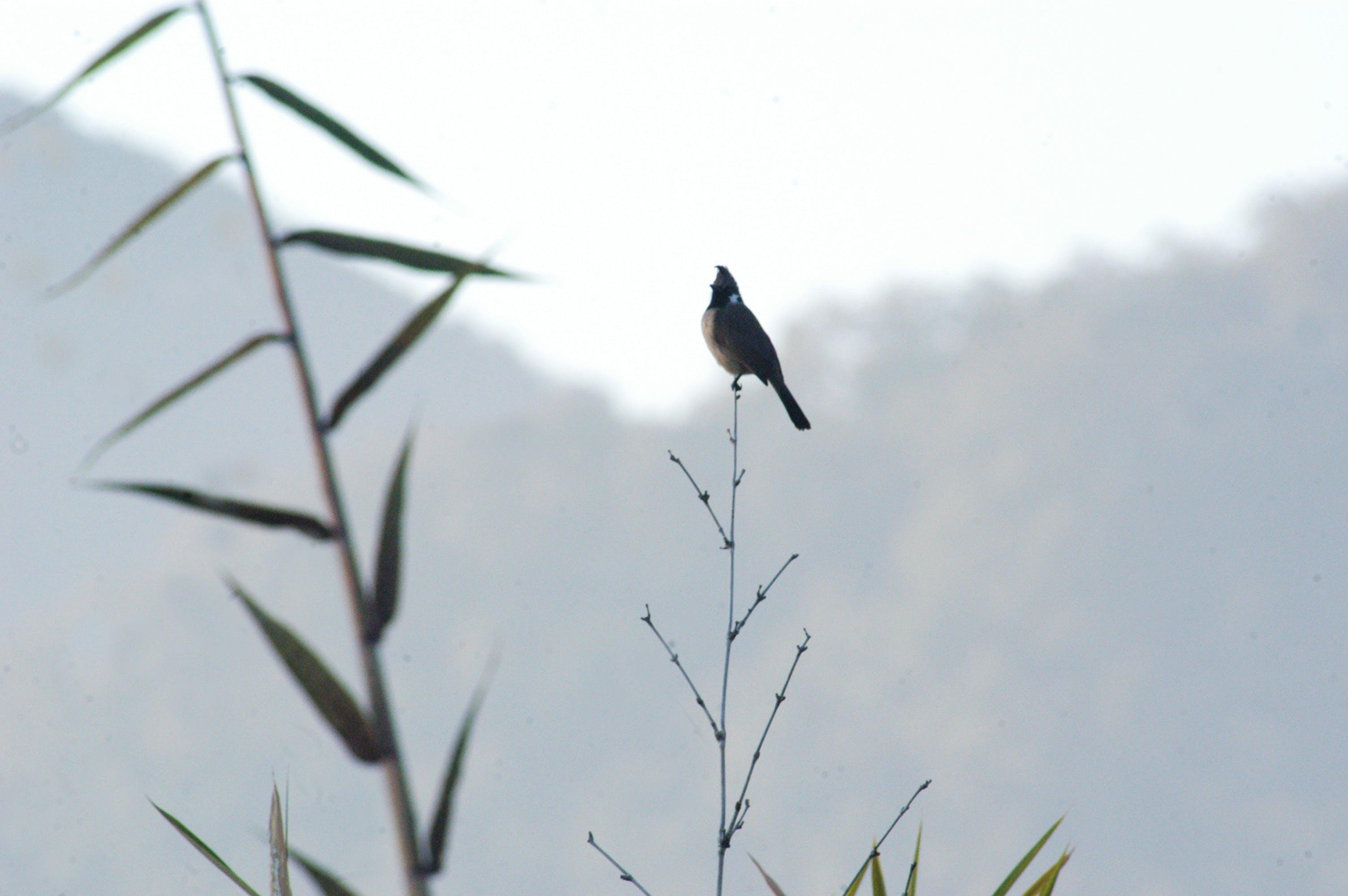 Free stock photo of bird, bird photography, forests, Himalayan Bulbul