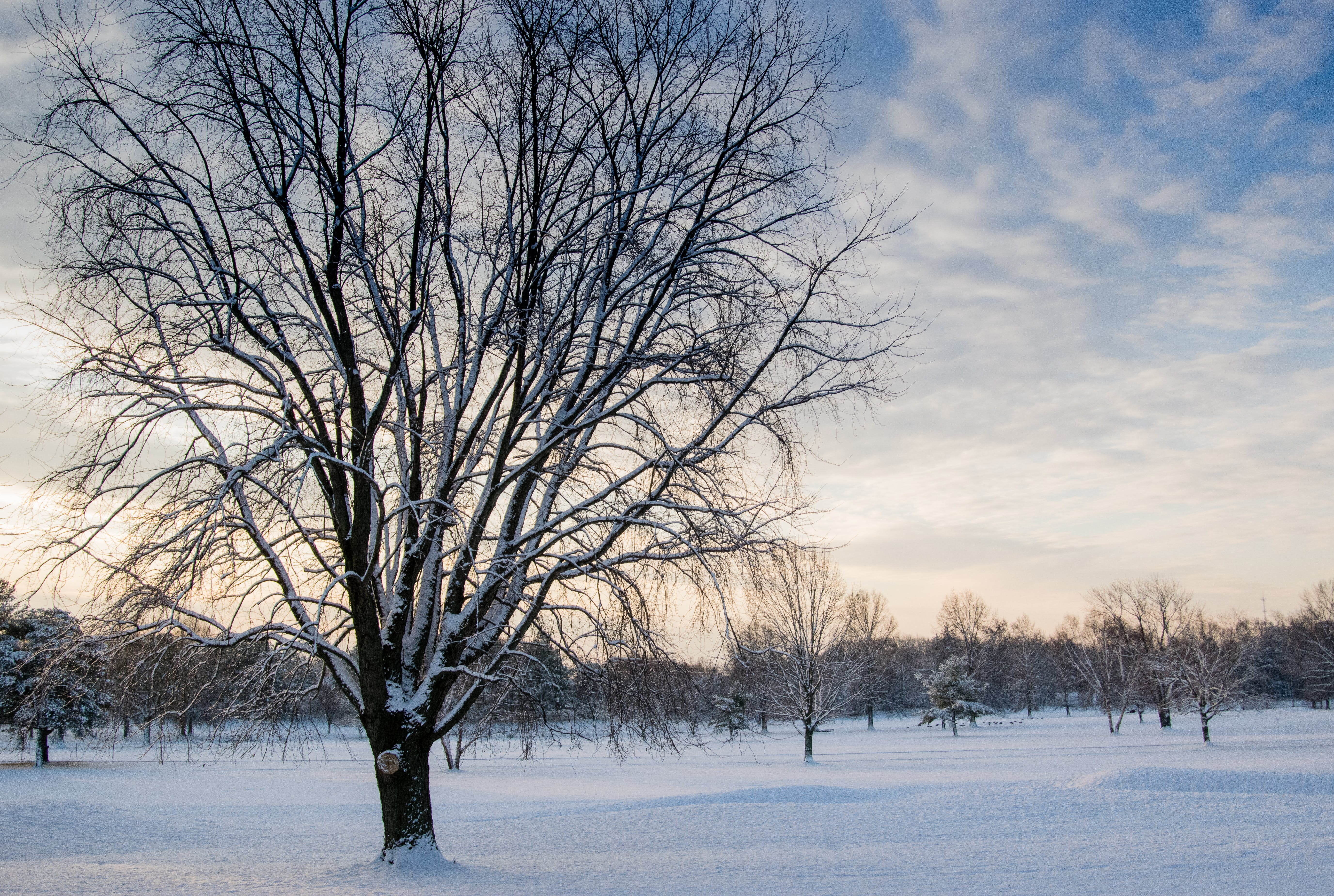 Leafless Tree Covered in Snow