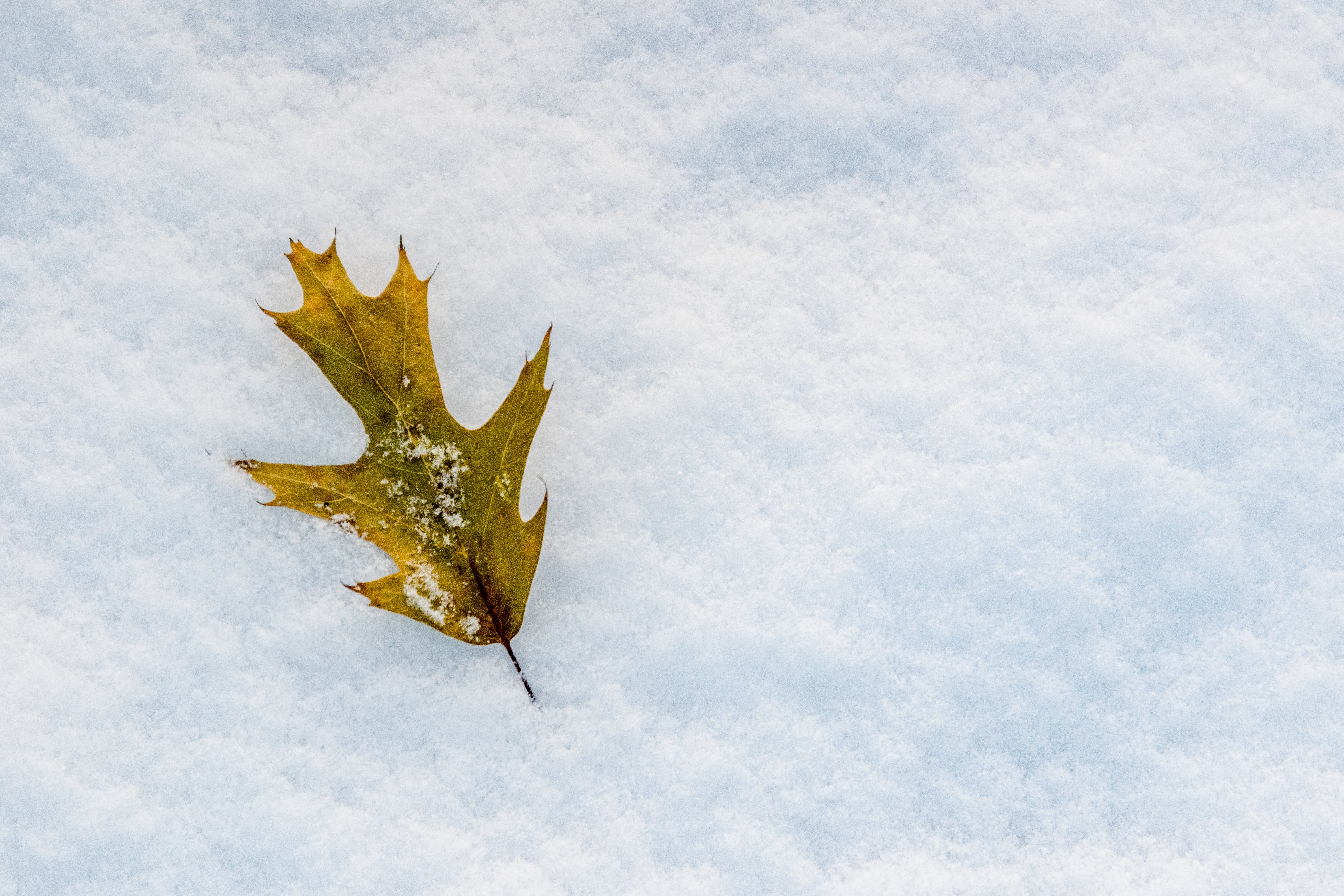 Free stock photo of cold, leaf, snow, winter