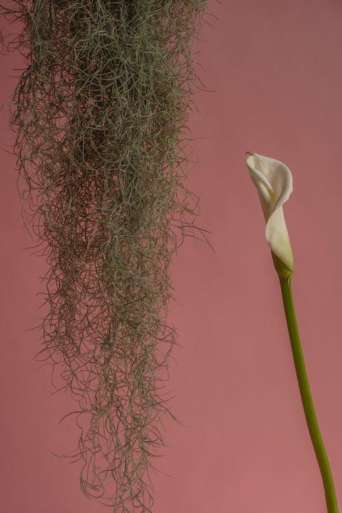 Spanish Moss Hanging Beside Calla Lily