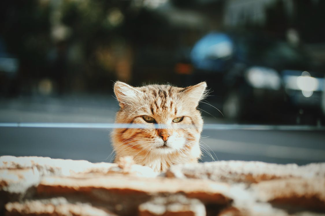 Free stock photo of animal, blur, cat