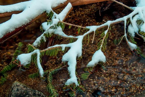Fir Leaves Covered in Snow