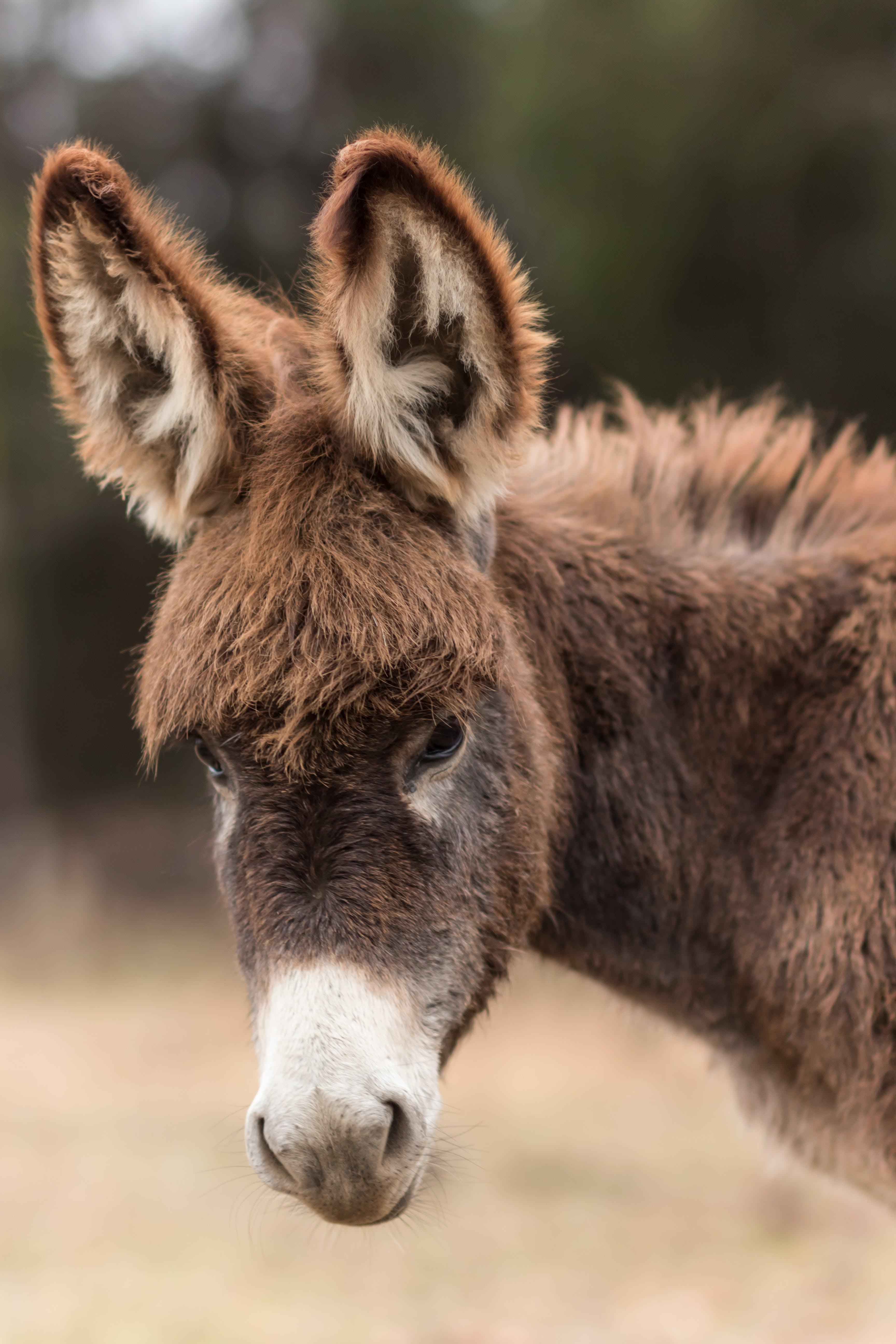 Foto d'estoc gratuïta de animal, animal de granja, burro, buscant
