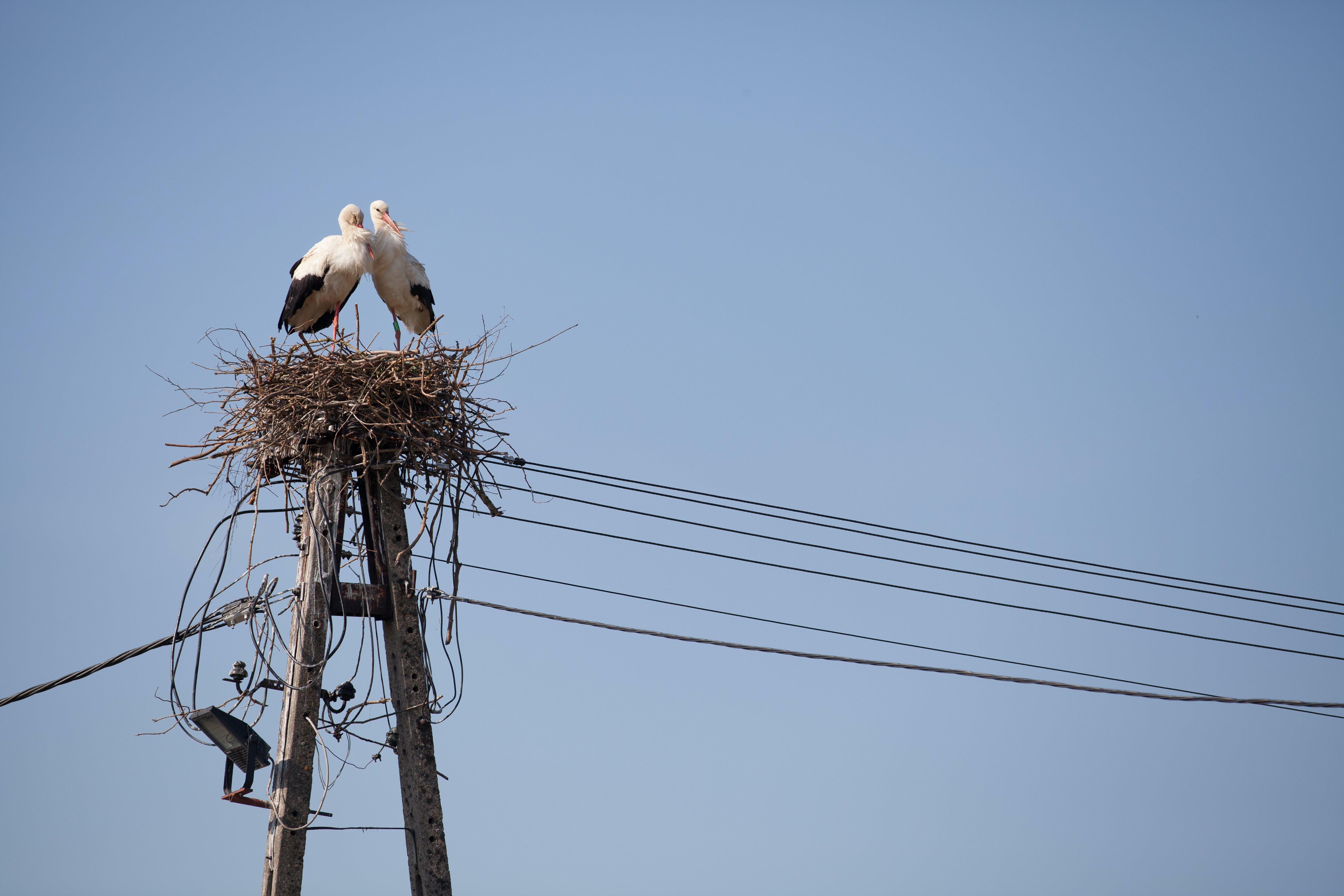 Free stock photo of birds, bociany, couple, stork