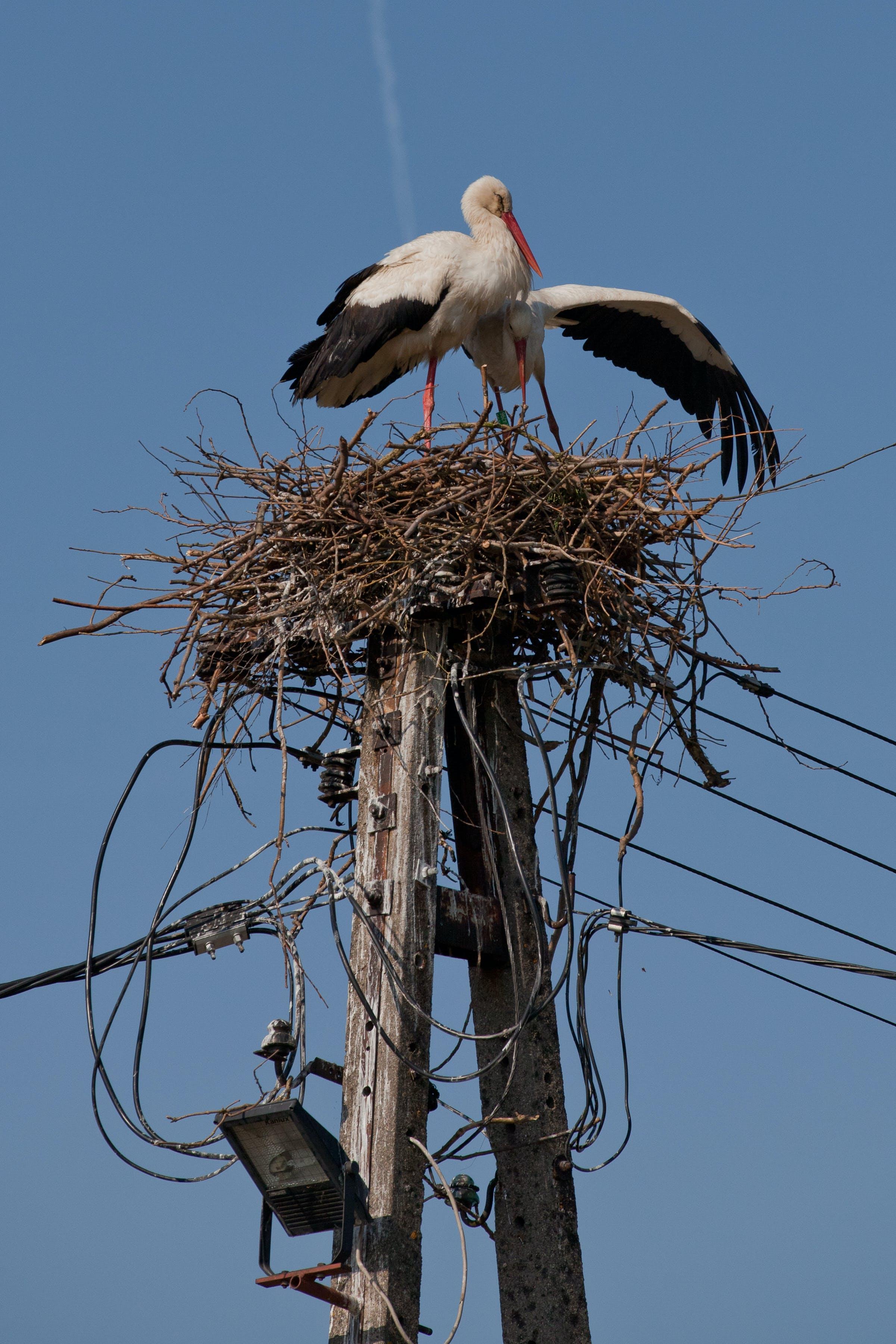 Free stock photo of birds, copulation, stork, storks