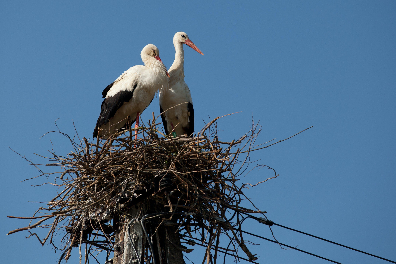 Free stock photo of birds, bociany, ptaki, stork