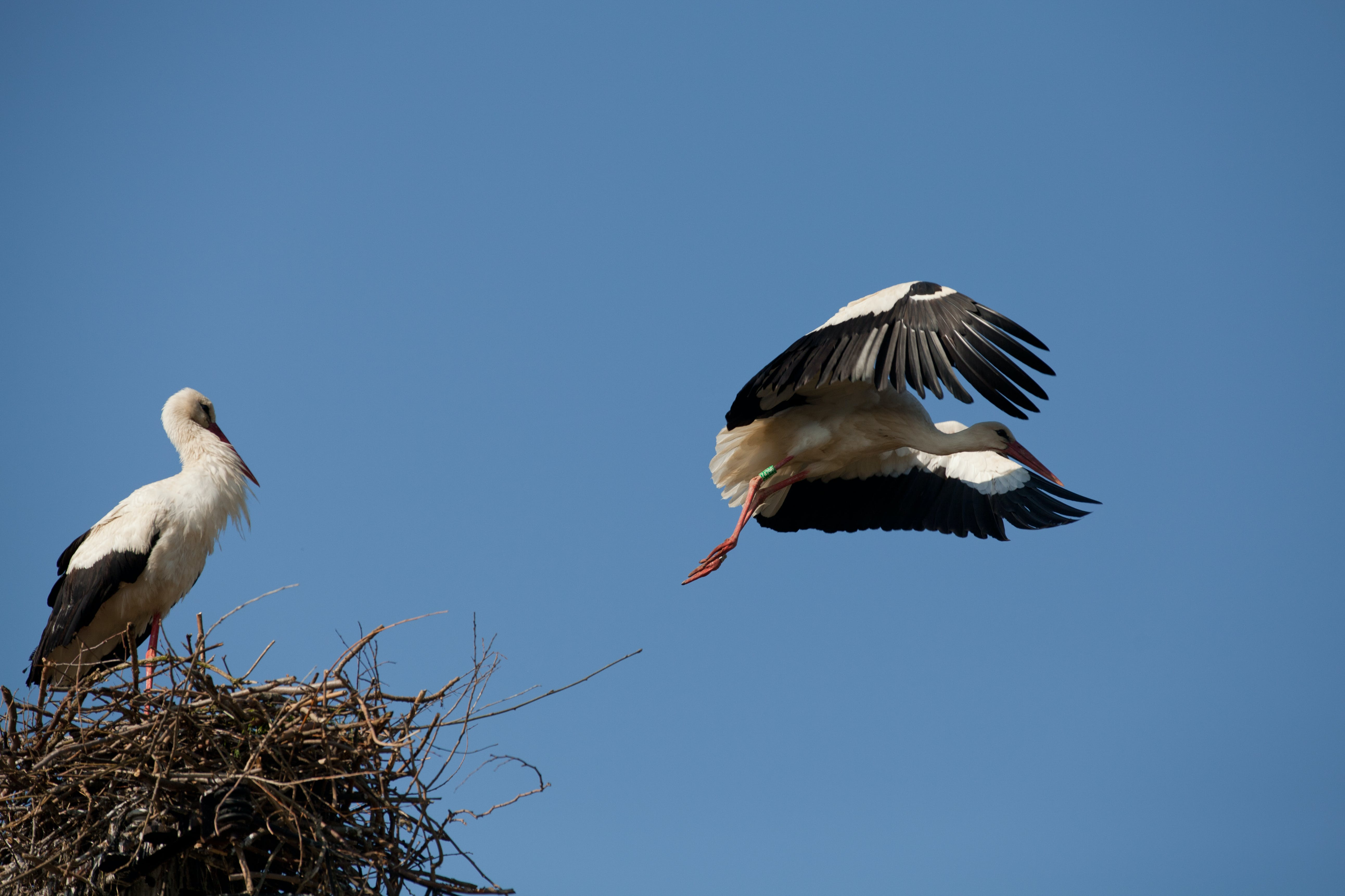 Free stock photo of bird, bird in flight, birds, stork