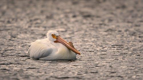 White Pelican on Gray Sand