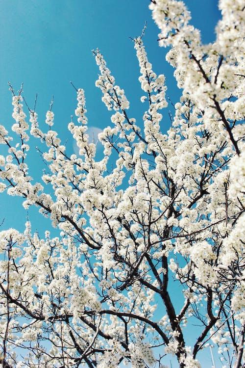 White Cherry Blossom Tree Under Blue Sky