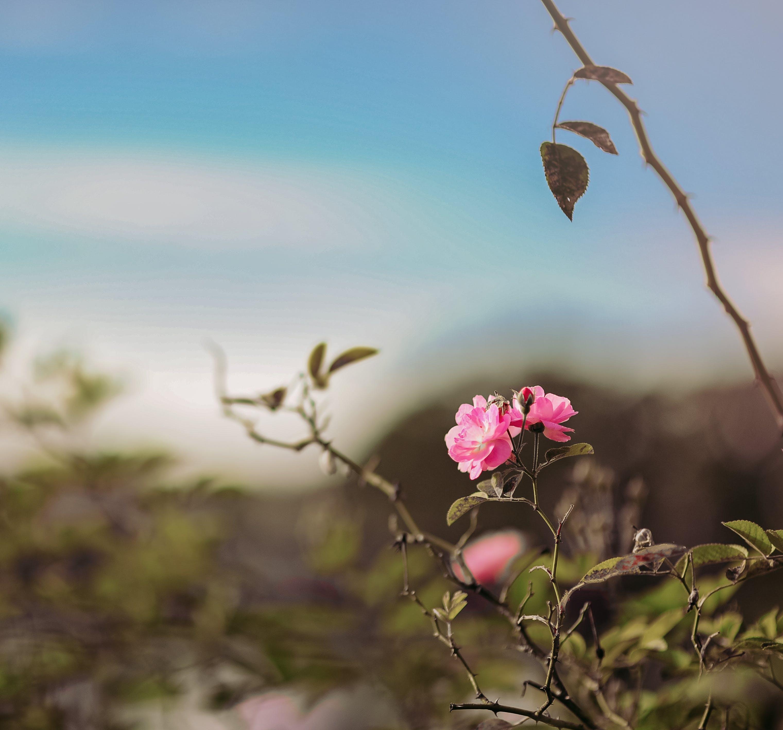 คลังภาพถ่ายฟรี ของ กลีบดอก, การเจริญเติบโต, กำลังบาน, ดอกกุหลาบ