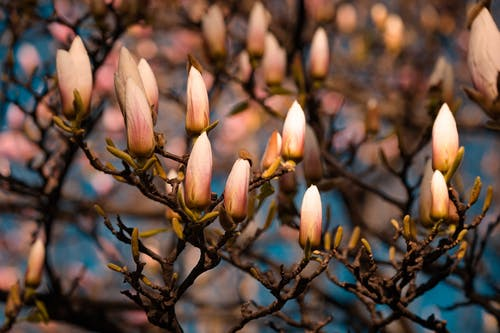 Branches of tree with magnolia flowers
