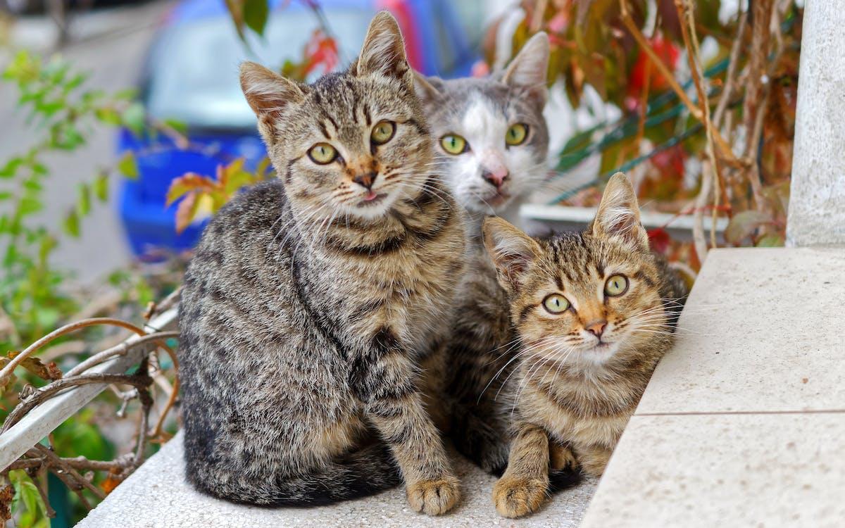 adorable, animales, atigrado