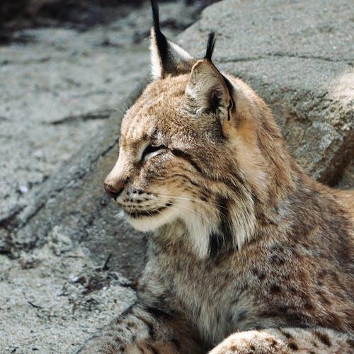 Eurasian Lynx on Rocky Ground