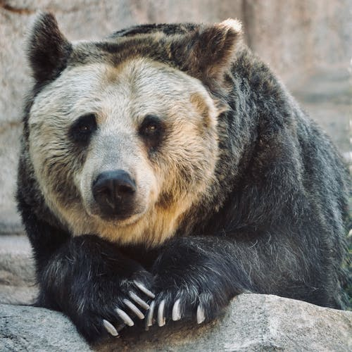 Black and Brown Bear on Gray Rock