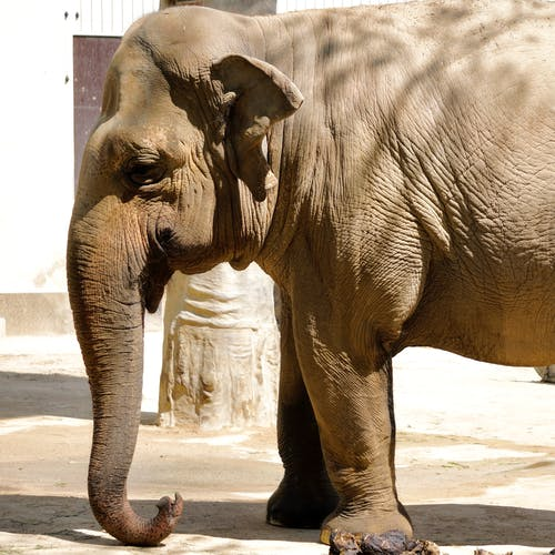Side View Of A Brown Elephant  In Half Body Shot