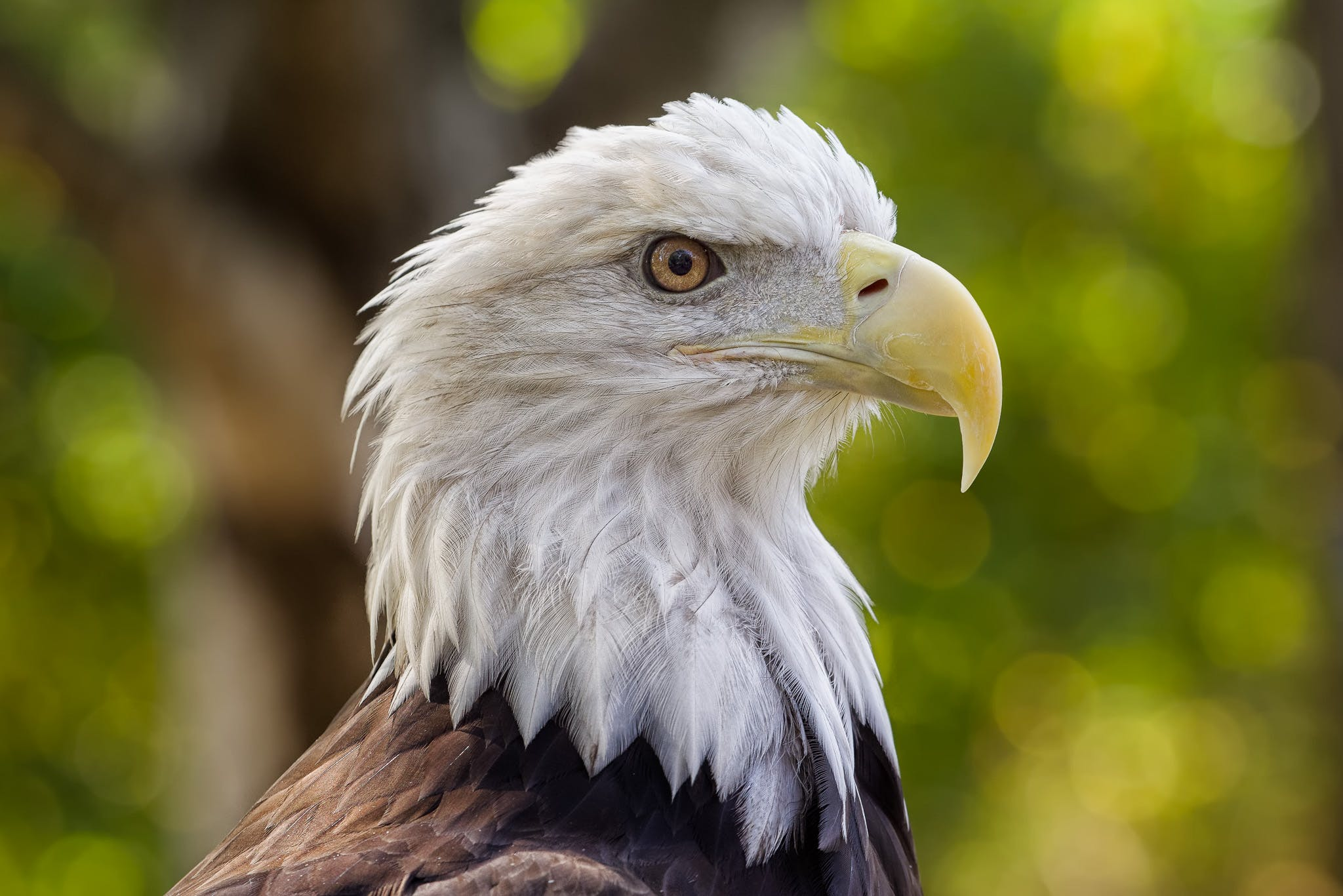 Free stock photo of bald eagle