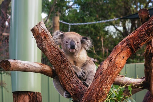 Koala on Brown Tree Branch