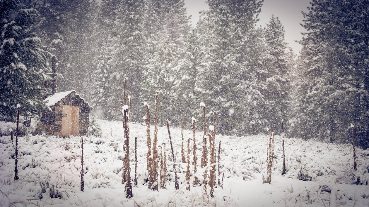 Brown Shed Near Green Pine Trees during Snow