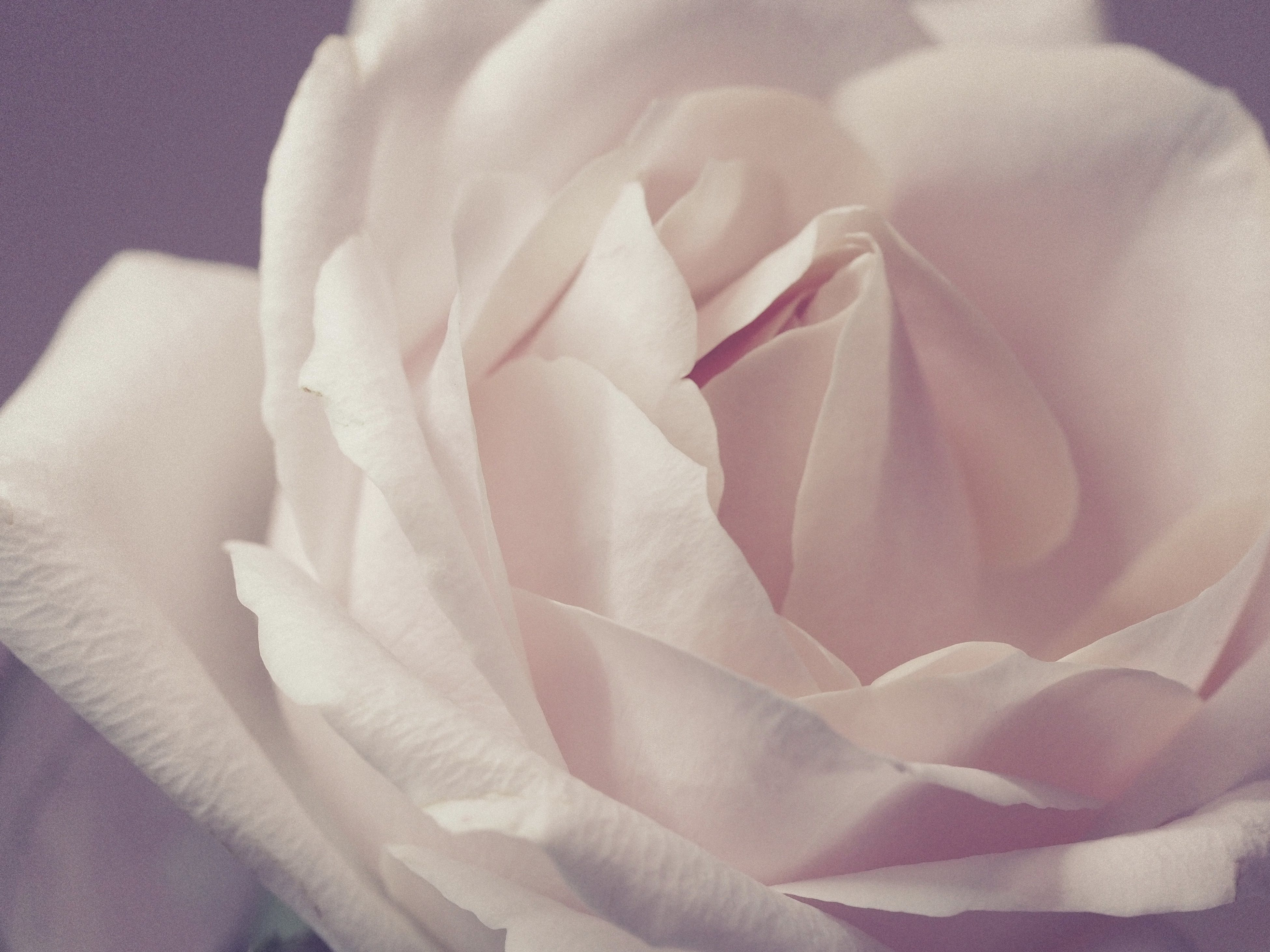Closeup Photo Of White Rose