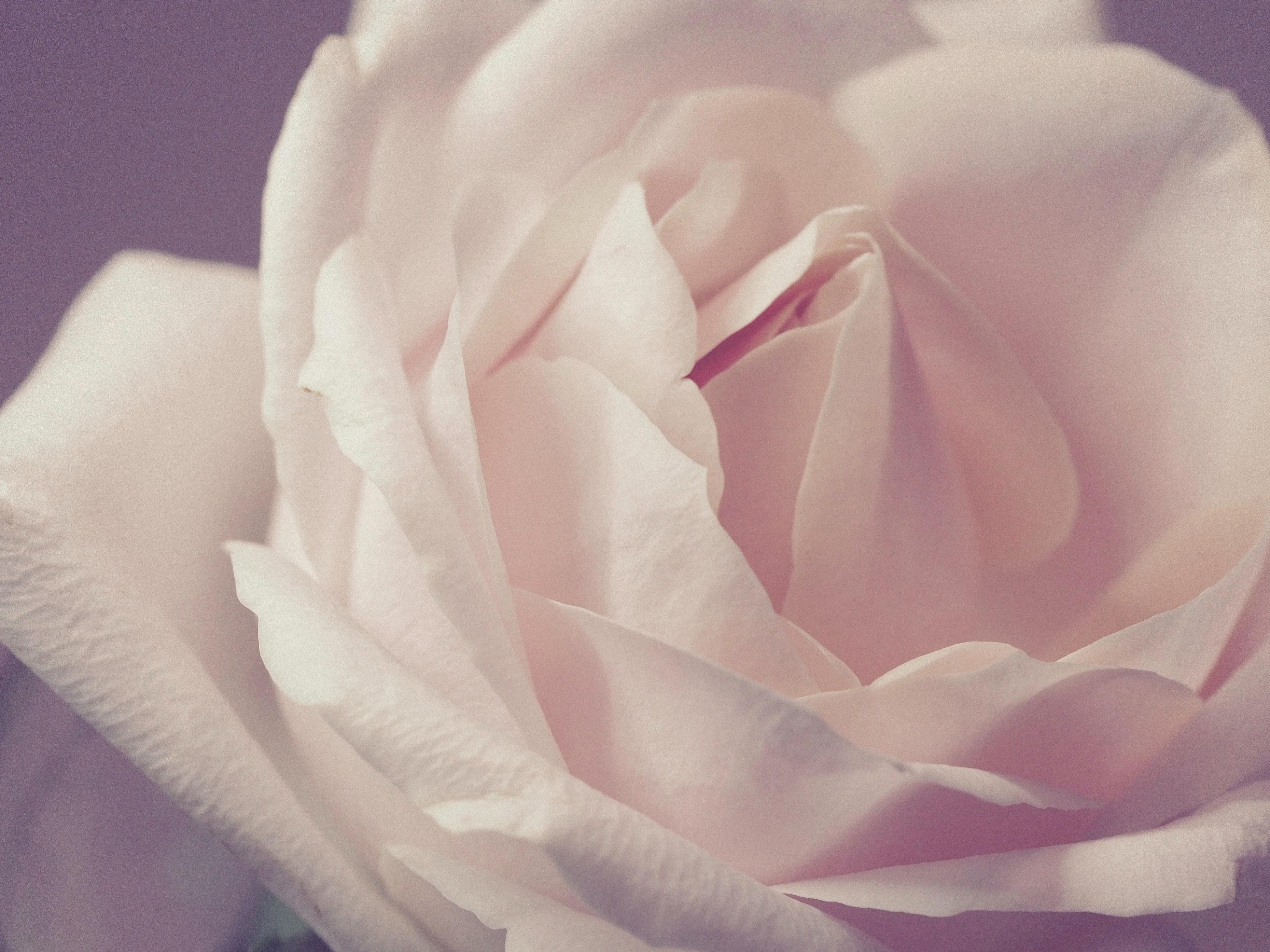 1000 Great White Rose Photos Pexels Free Stock