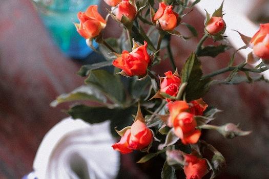 Free stock photo of #myphoto #rose #coffe