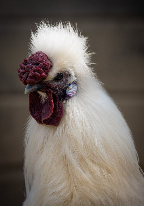 Close-Up Shot of a White Chicken