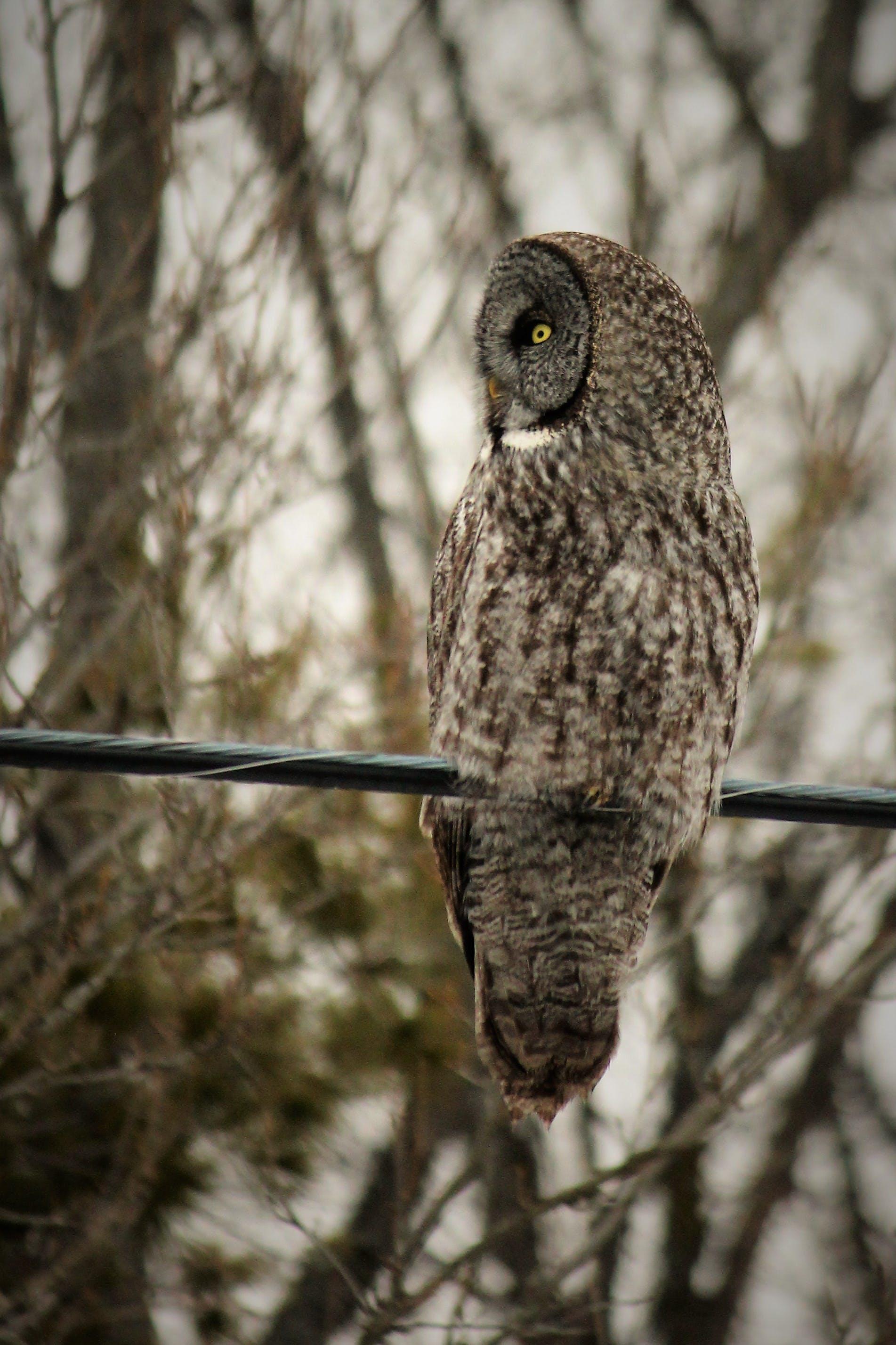 Gray Owl