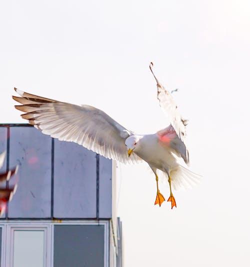 Бесплатное стоковое фото с дикая природа, животное, крылья