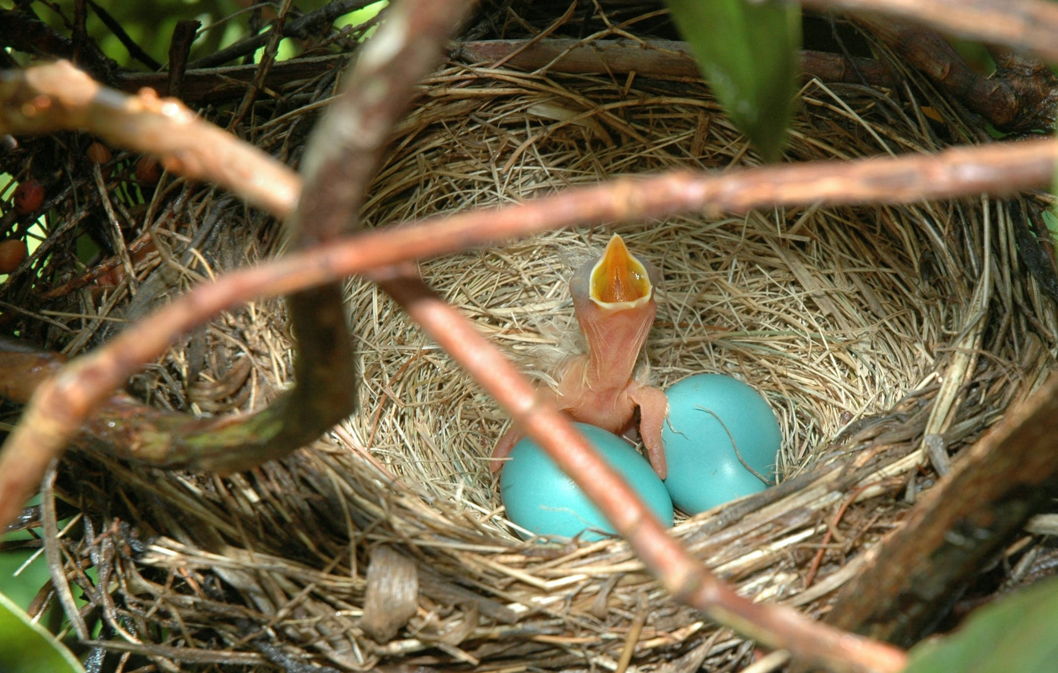 Free stock photo of Newly hatched robin
