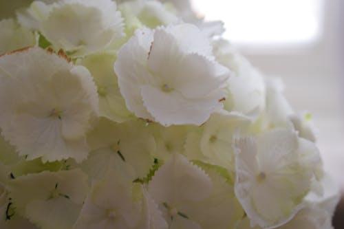 Free stock photo of hortensia, white, white flower