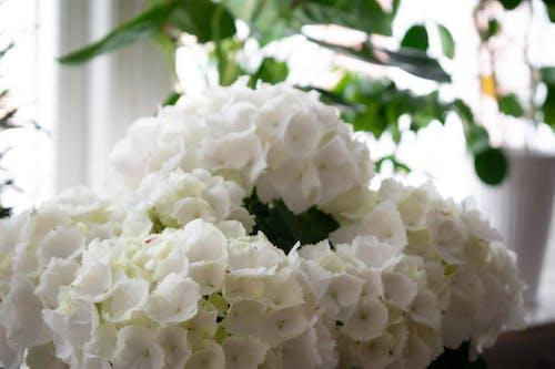 Free stock photo of flower bearing plants, hortensia, white flowers