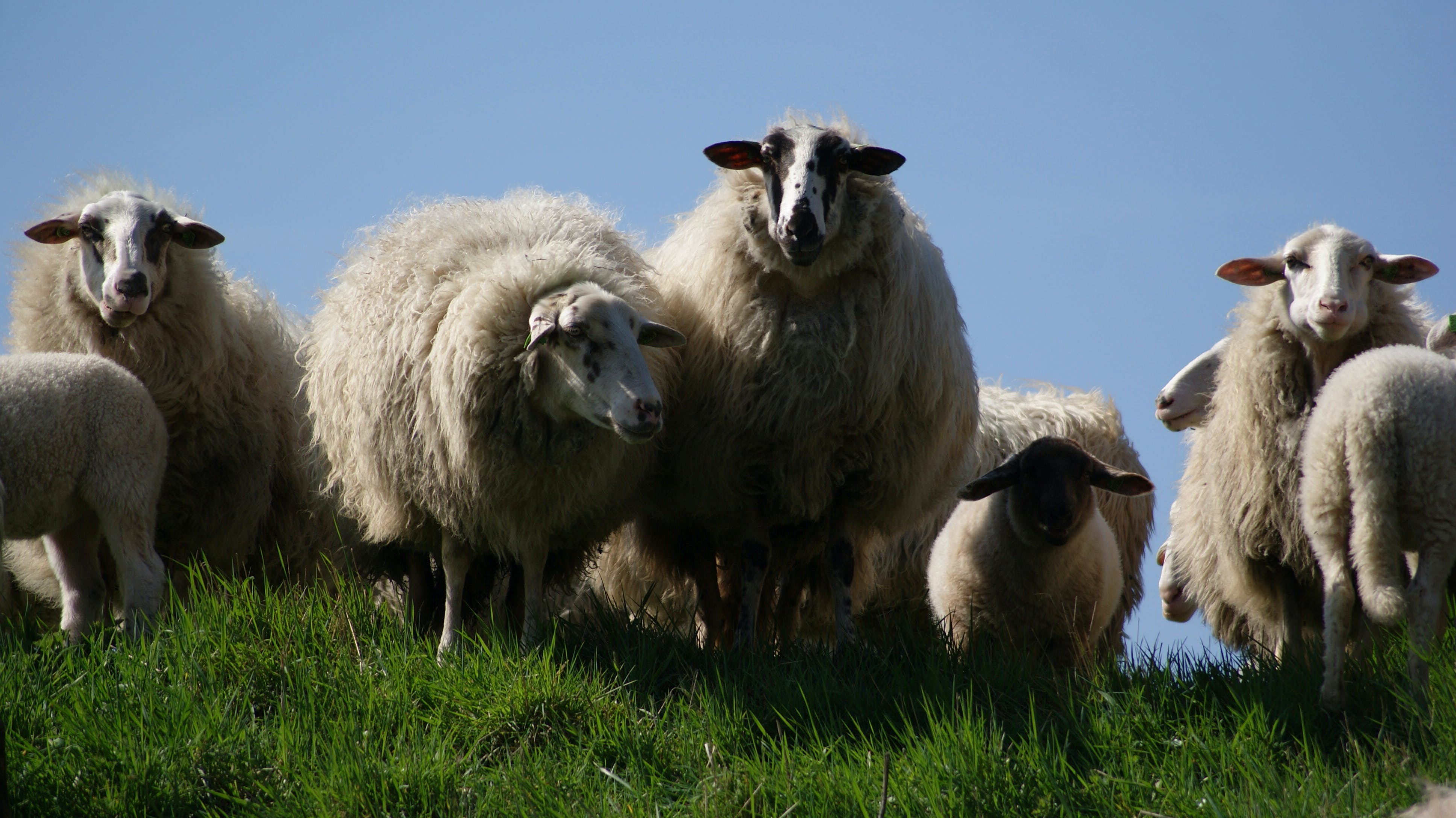Herd of Sheeps on Green Grass
