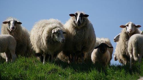 動物, 羊, 羊毛, 草地 的 免費圖庫相片
