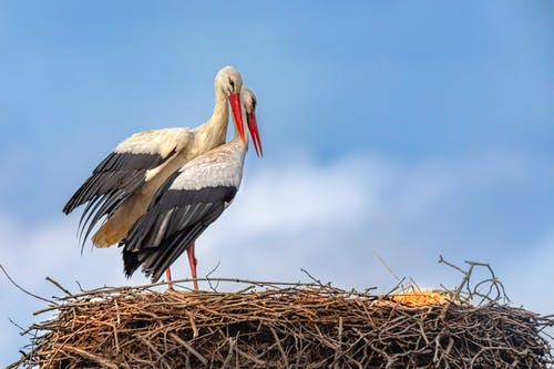 Close-Up Shot of White Storks Perched on the Nest