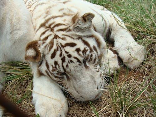 Foto d'estoc gratuïta de tigre blanc depredador