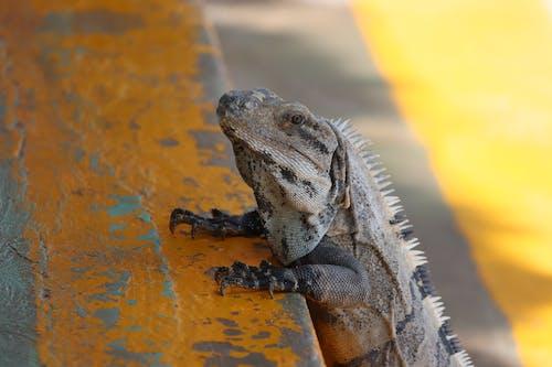 A Close-Up Shot of an Iguana