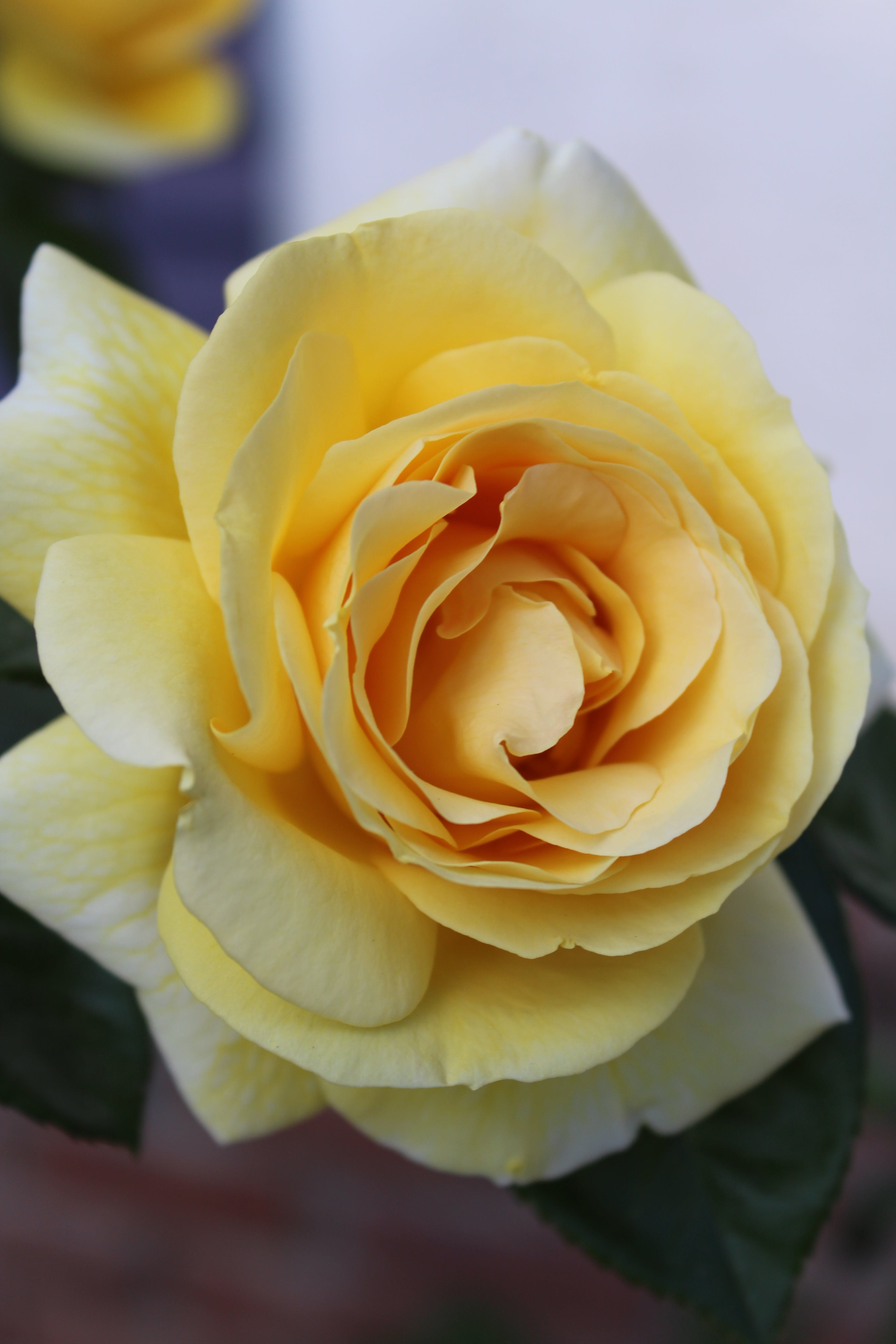 Yellow Rose Flower in Close-up Photography