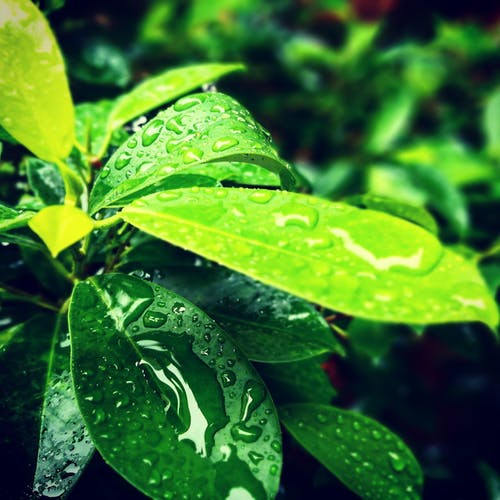 Free stock photo of after the rain, evergreen, green leaf