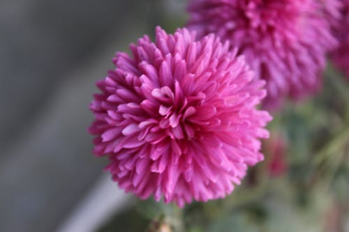Close-up Photography of Pink Dahlia Flower