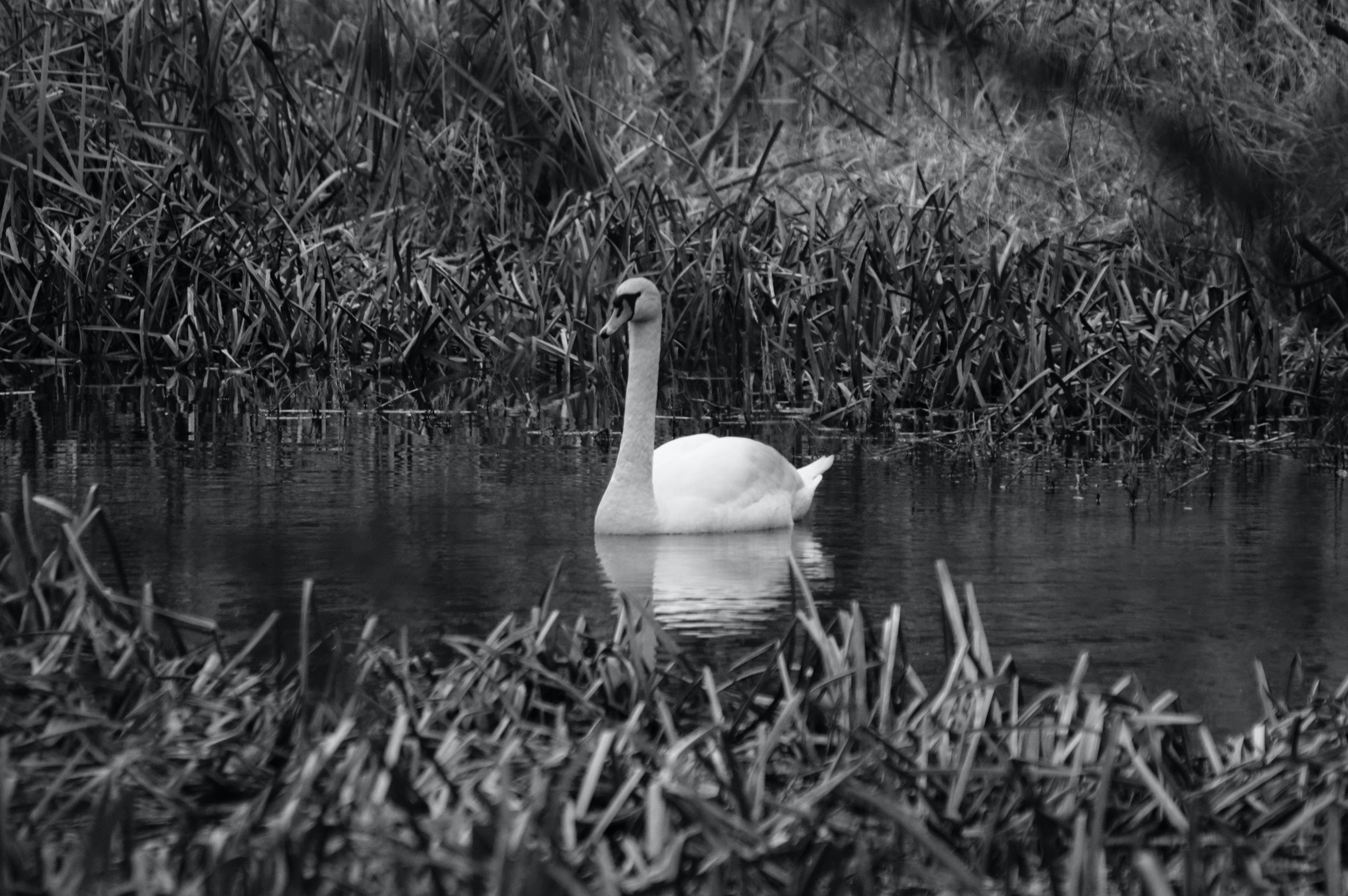 Free stock photo of bird, water, swan, bw