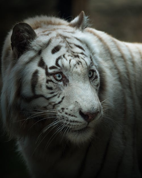 White and Black Tiger in Close Up Photography