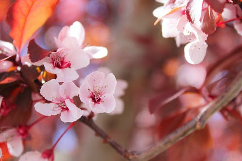 Selective Focus of Sakura Tree