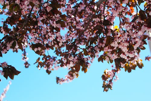 Fotobanka sbezplatnými fotkami na tému čerešňové kvety, detailný záber, flóra, jasný