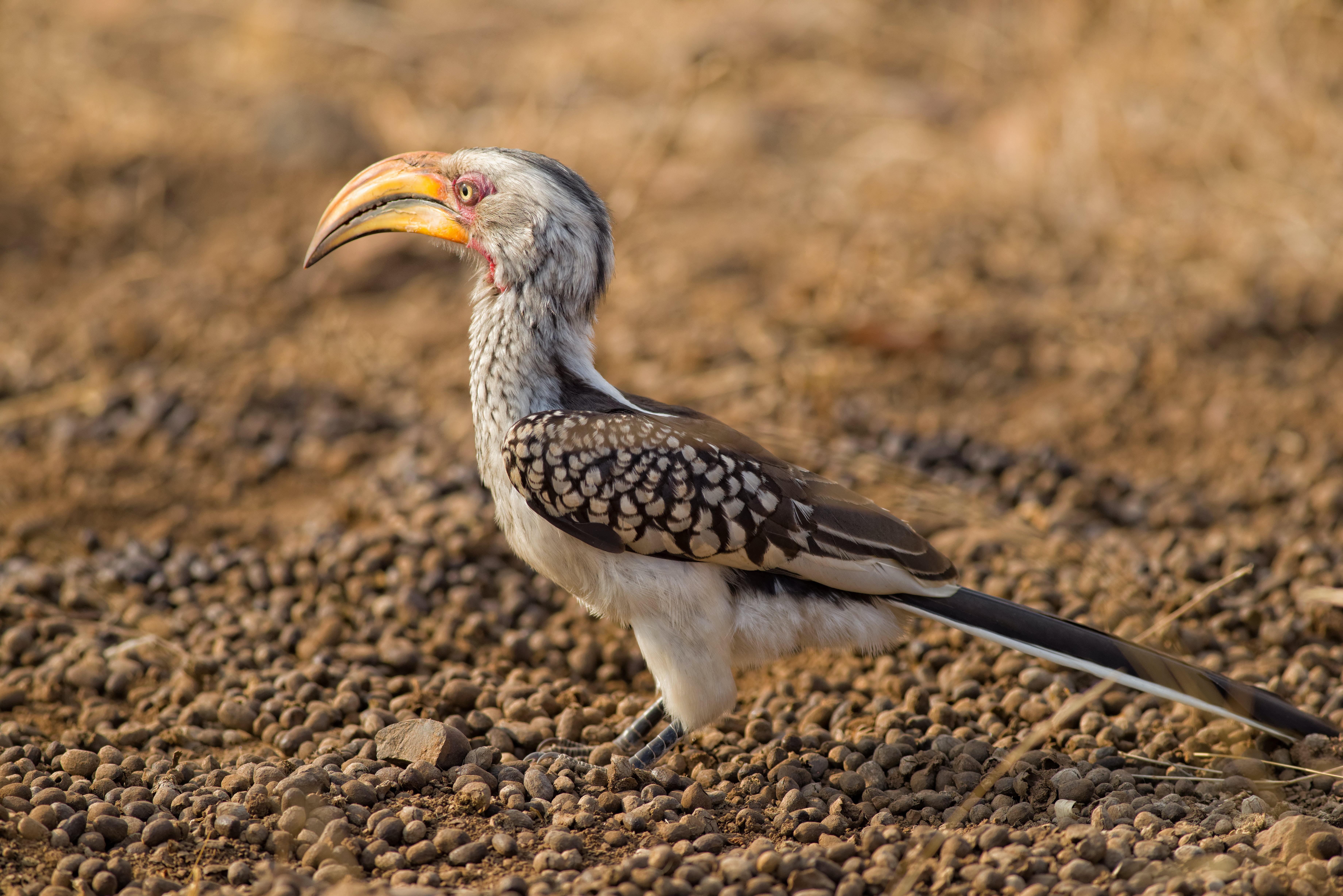 Free stock photo of Southern Yellow Billed Hornbill