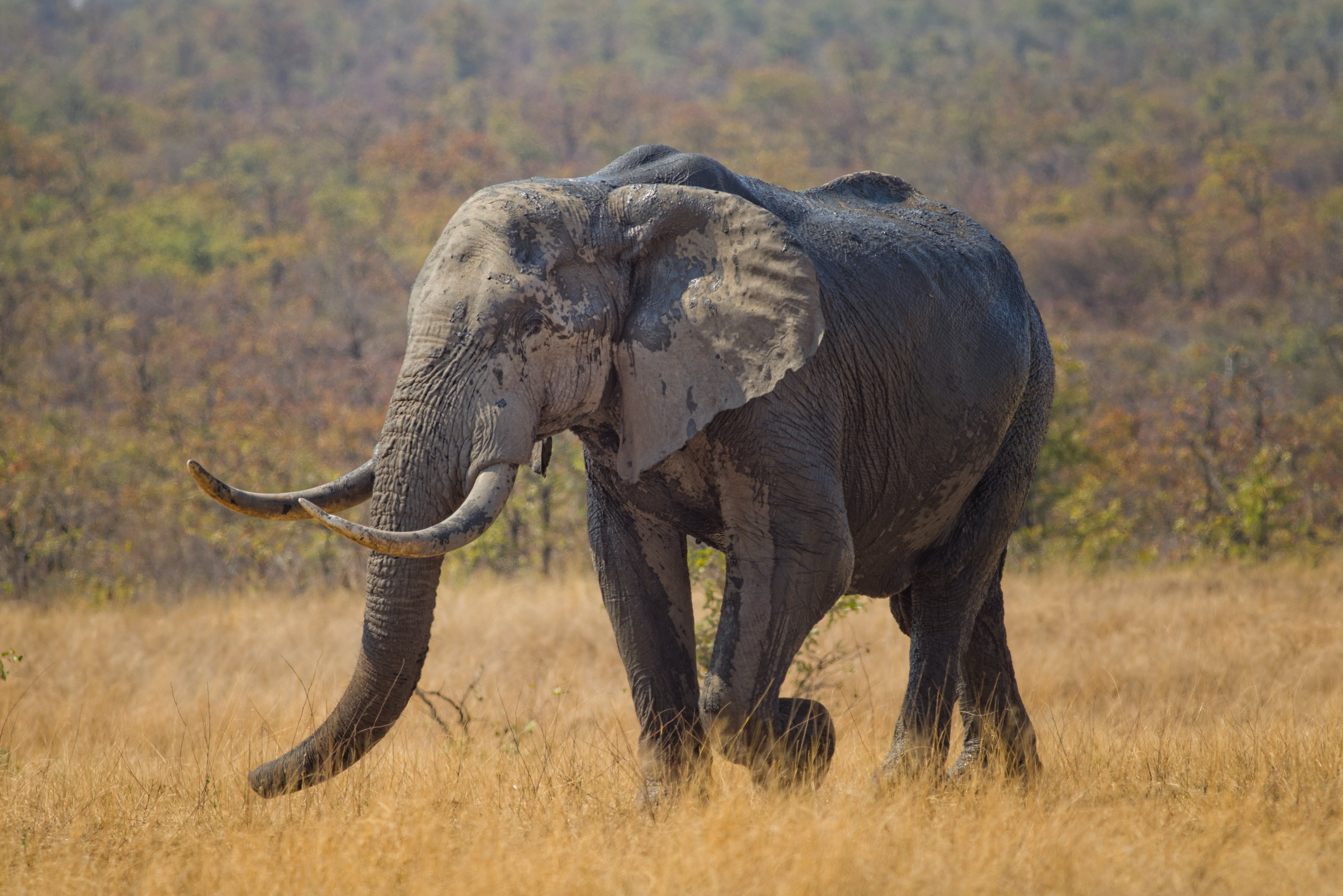 Free stock photo of elephant