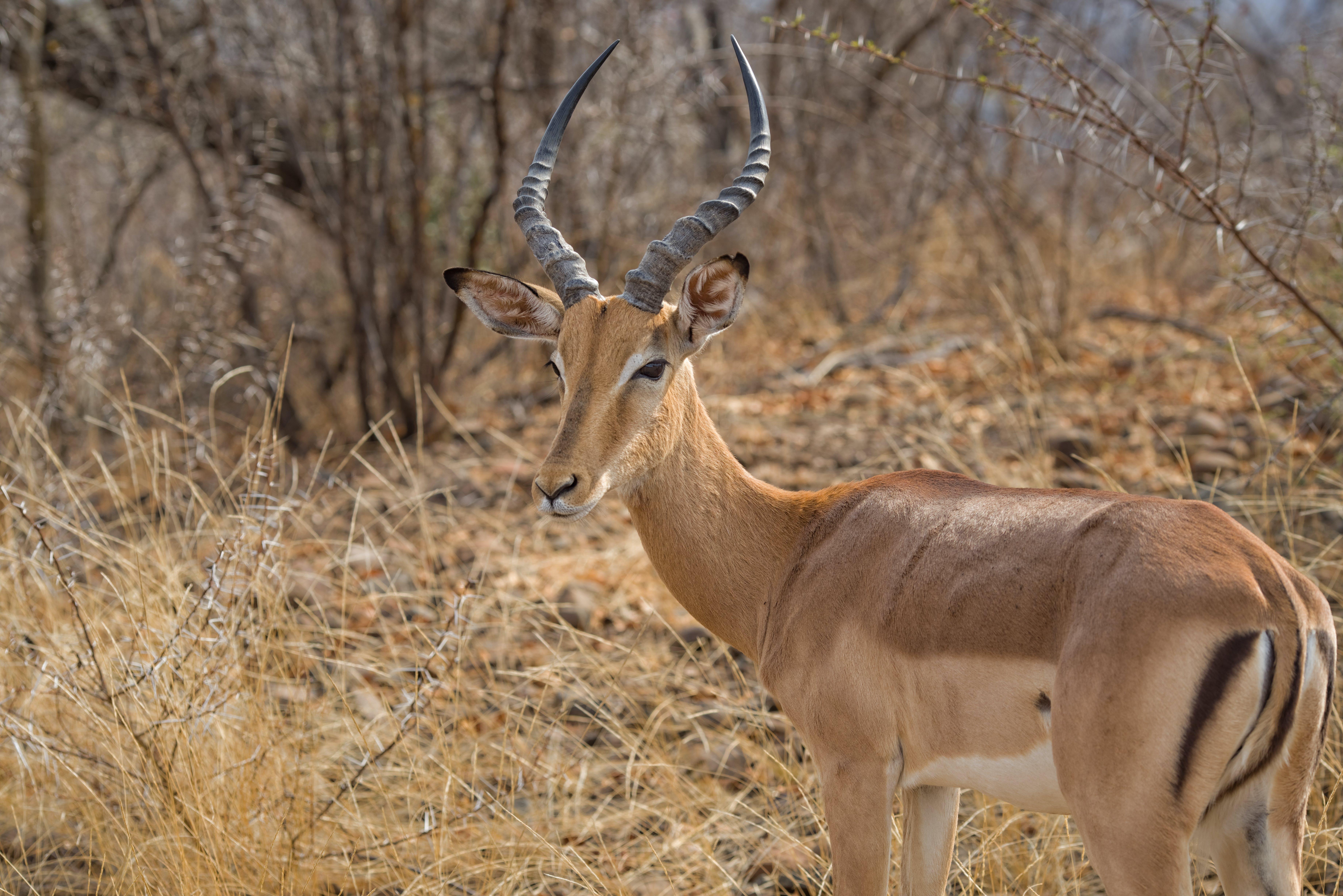 Free stock photo of impala