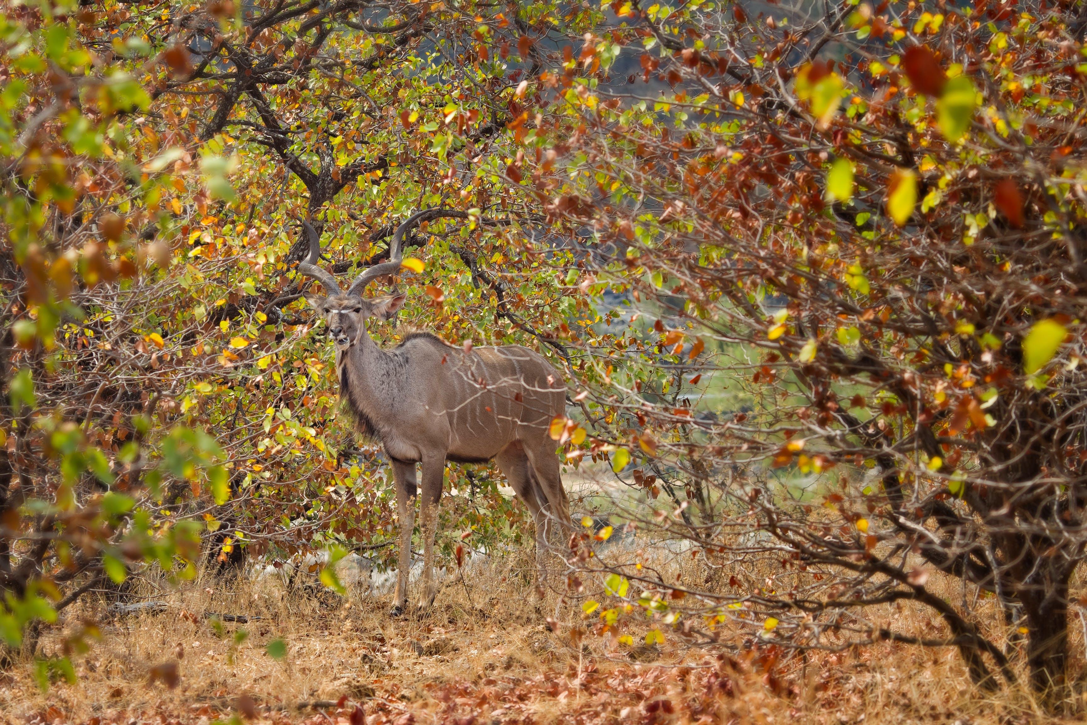 Free stock photo of Kudu