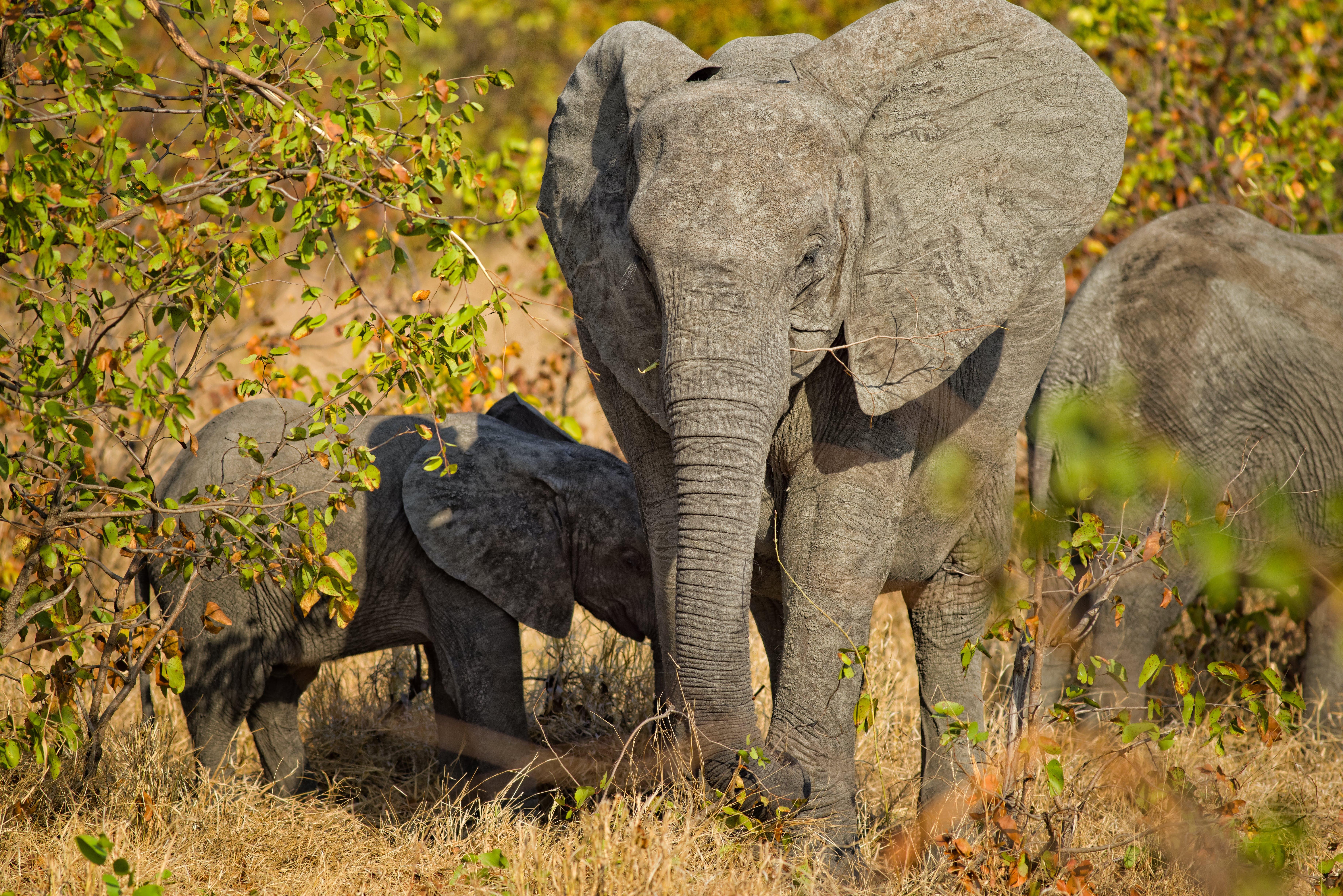 Free stock photo of baby elephant, elephants
