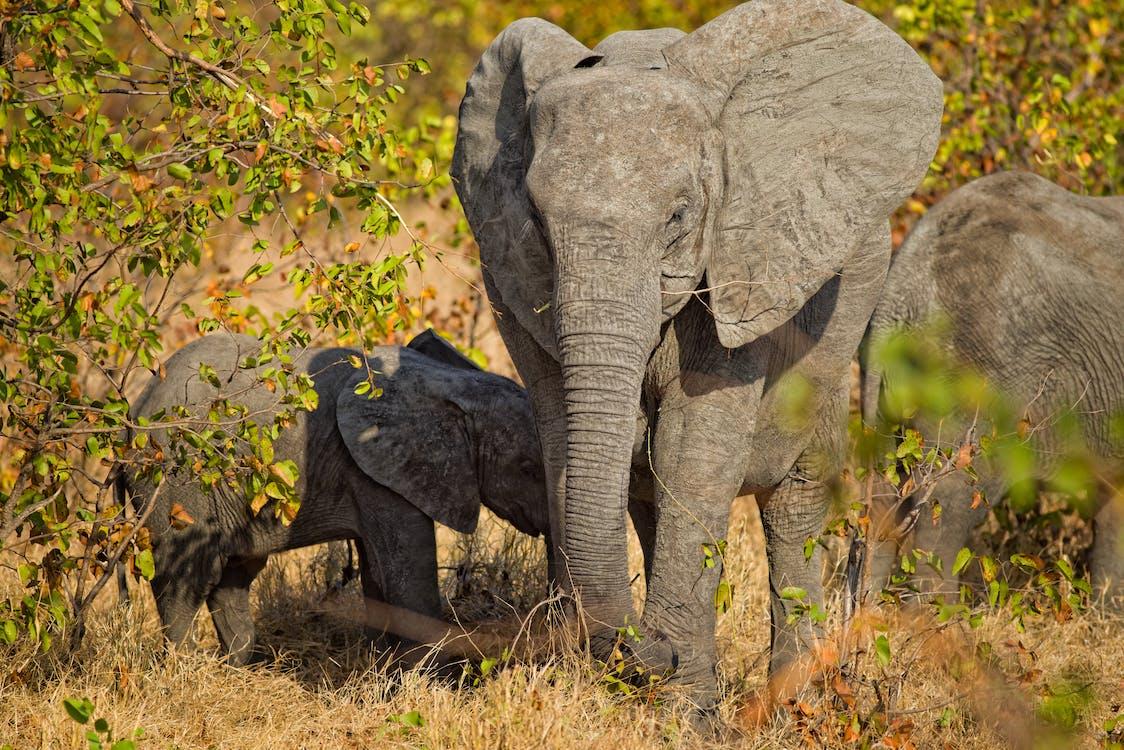 Elephant Walking on Brown Grass Field